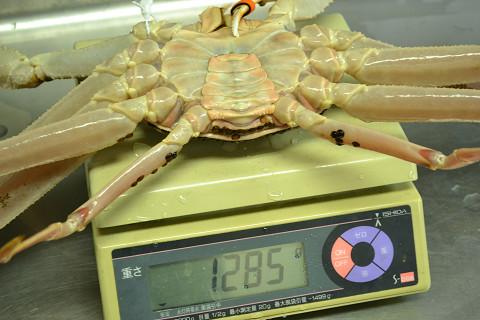 特大松葉蟹