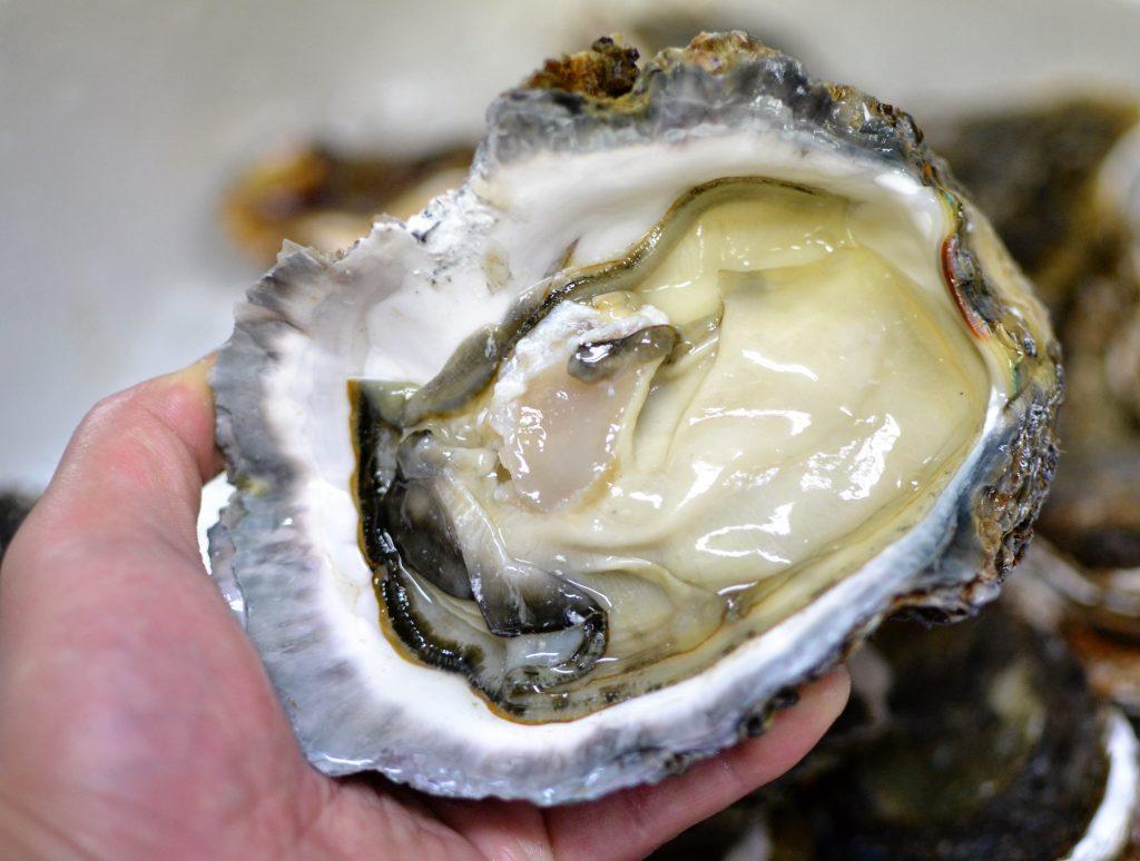 舞鶴産岩牡蠣、今年も良い身質です